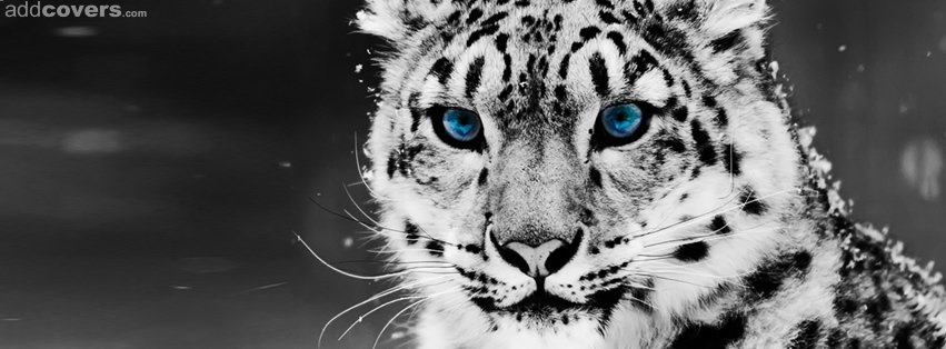 Snow Leopard {Animals Facebook Timeline Cover Picture, Animals Facebook Timeline image free, Animals Facebook Timeline Banner}