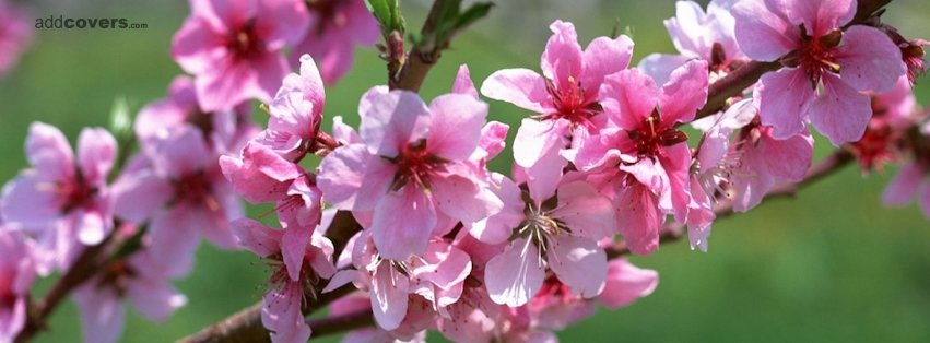 Pink Flowers Timeline Cover For Facebook