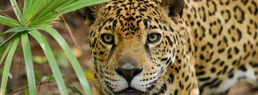 Jaguar {Animals Facebook Timeline Cover Picture, Animals Facebook Timeline image free, Animals Facebook Timeline Banner}