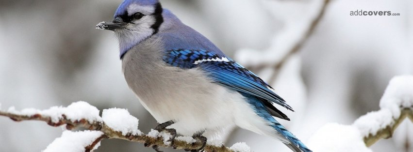 Bird Winter {Animals Facebook Timeline Cover Picture, Animals Facebook Timeline image free, Animals Facebook Timeline Banner}