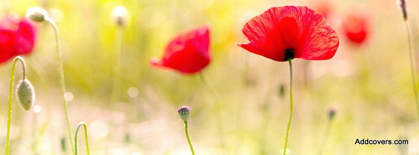 Poppy Flowers {Flowers Facebook Timeline Cover Picture, Flowers Facebook Timeline image free, Flowers Facebook Timeline Banner}