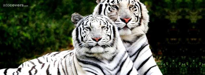 White Tigers {Animals Facebook Timeline Cover Picture, Animals Facebook Timeline image free, Animals Facebook Timeline Banner}