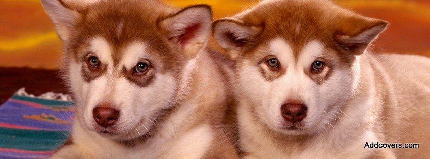 Facebook Husky Puppies Siberian Husky Puppies
