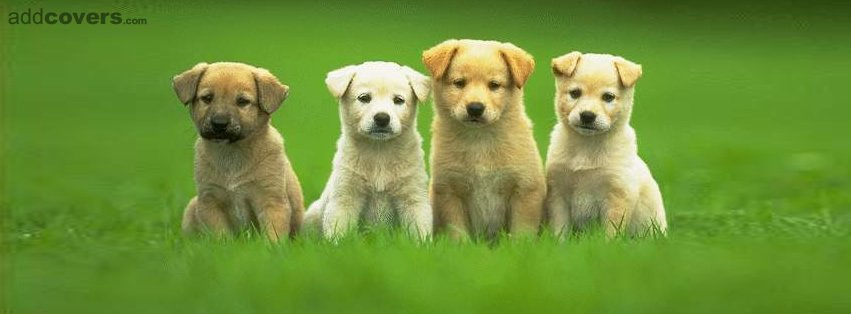 Four cute puppies Facebook Covers