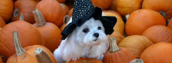 Puppy on Pumpkins