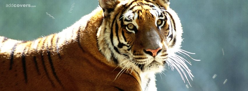 Tiger {Animals Facebook Timeline Cover Picture, Animals Facebook Timeline image free, Animals Facebook Timeline Banner}