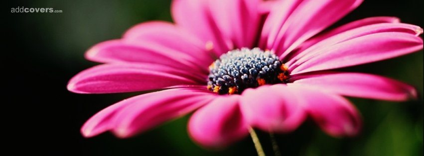 Pink Daisy {Flowers Facebook Timeline Cover Picture, Flowers Facebook Timeline image free, Flowers Facebook Timeline Banner}